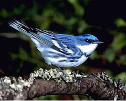 Cerulean_Warbler_(male)_(13887478519)
