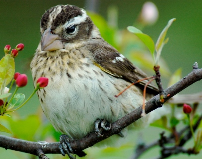 rose breasted grosbeak female credit matthew flikr
