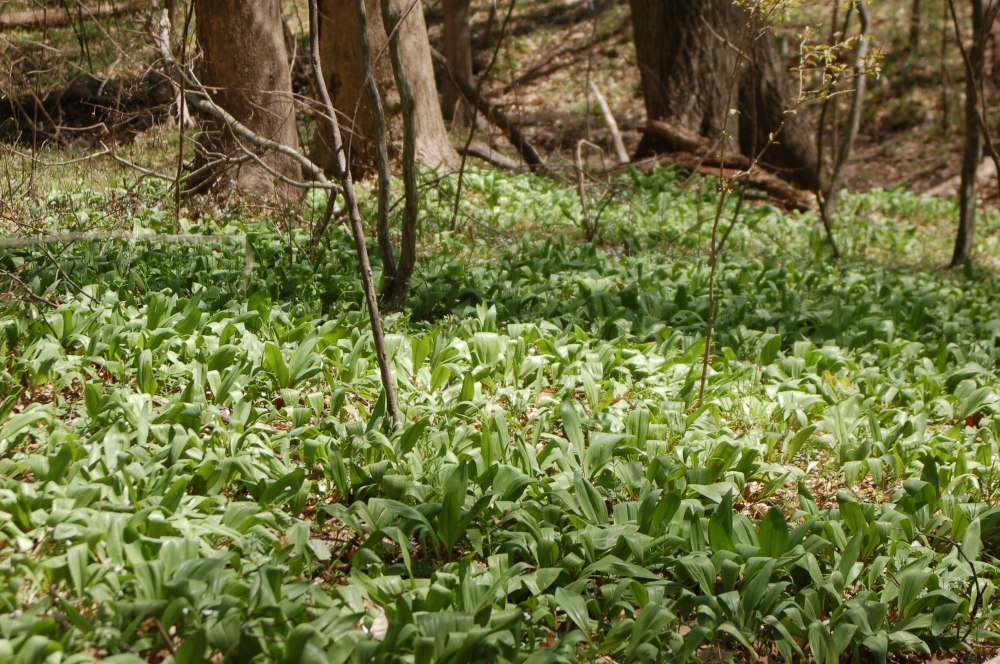 wild ramps in forest